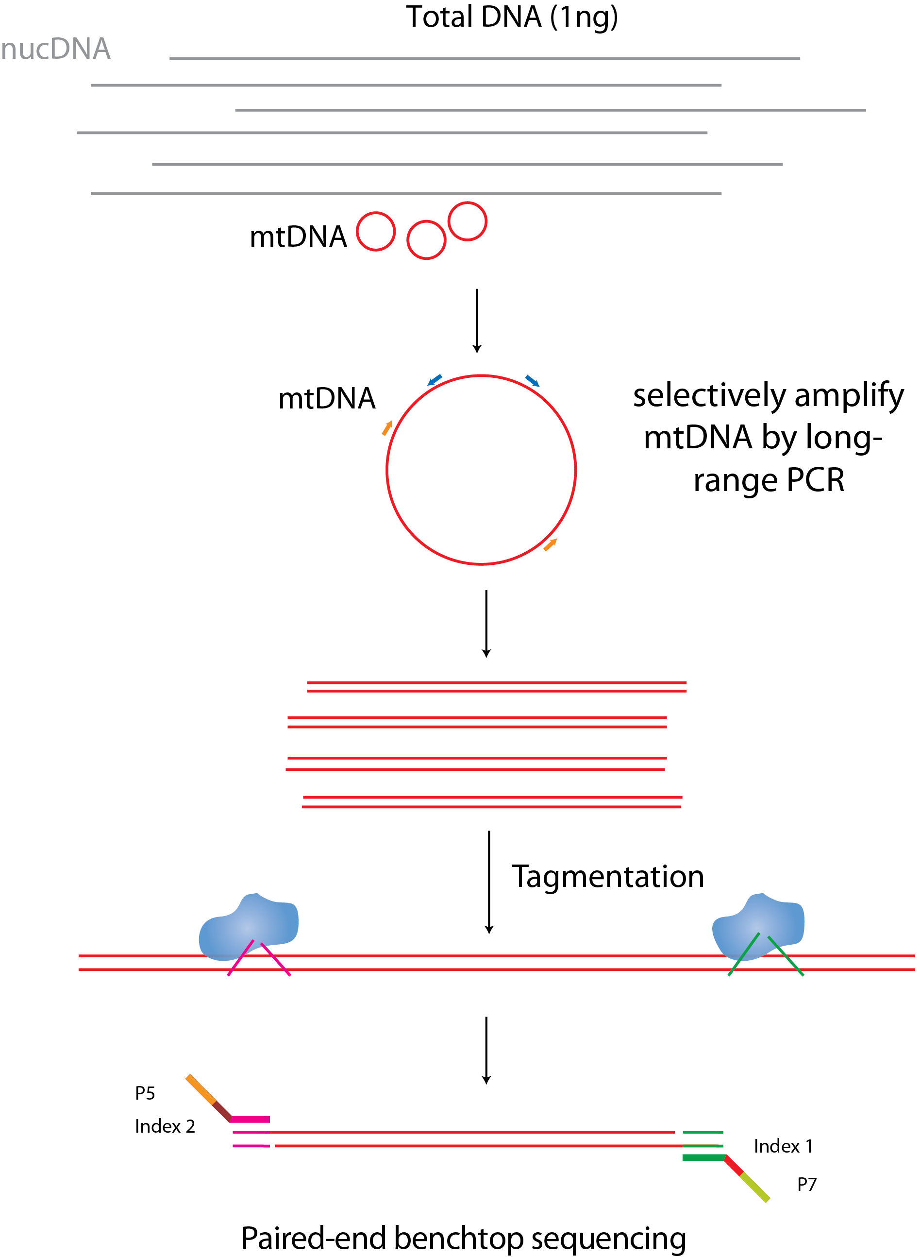 Nathan shock center cores targeted dna methylation mtdna sequencing workflow a total of 1ng genomic dna is subjected to long range pcr of two overlapping mtdna regions to selectively amplify mitochondrial ccuart Choice Image